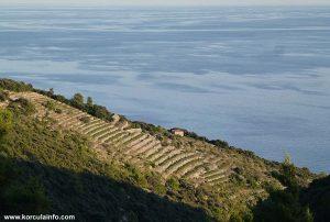 Vineyards on Zaglav in sunset