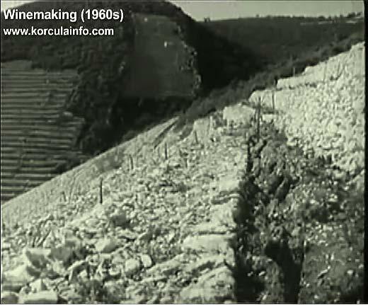 winemaking-korcula1960b
