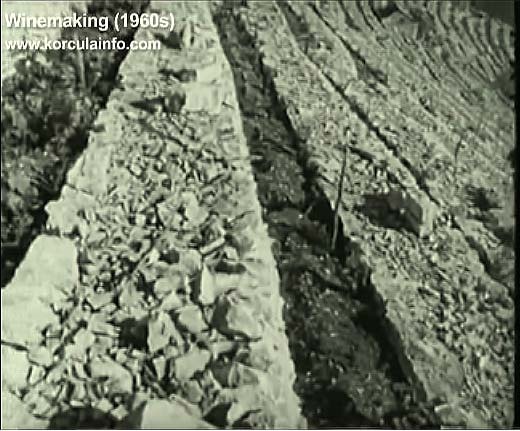 winemaking-korcula1960d