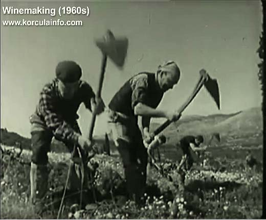 winemaking-korcula1960t