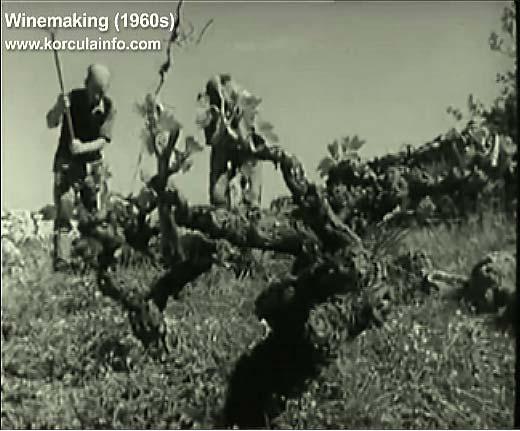 winemaking-korcula1960z