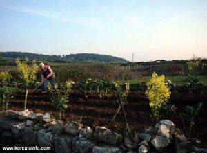 In the vineyard of Lumbarda