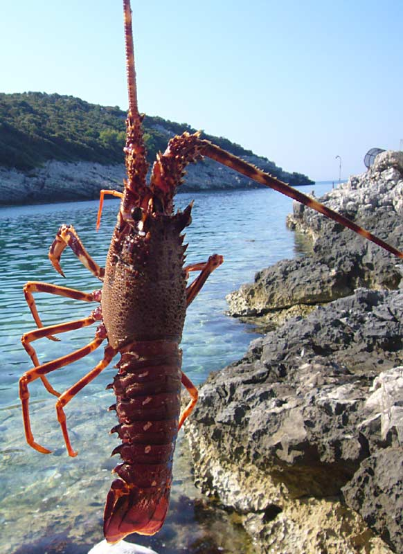 Lobster caught in Rasohatica