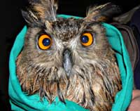 cute owl from viganj korculainfo com