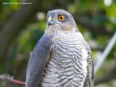 Hawk from Peljesac