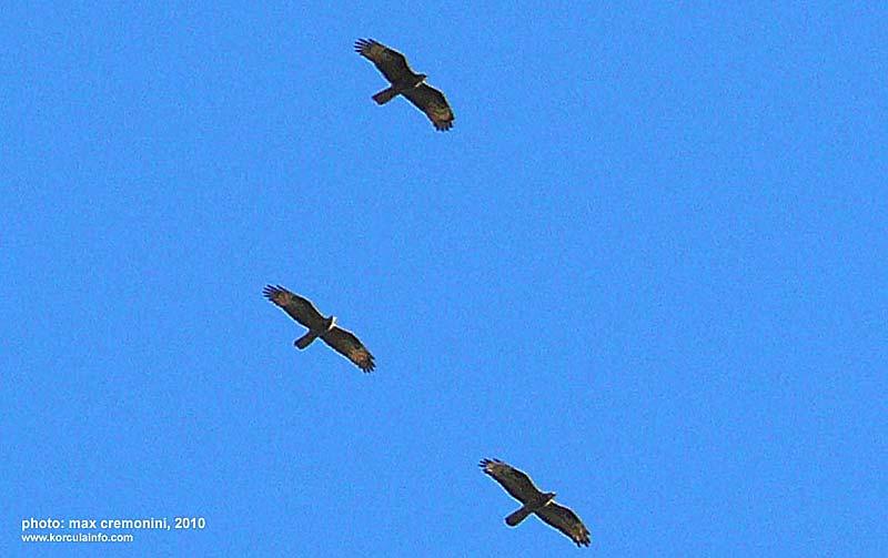 raptor-migration-Korcula2