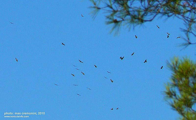 raptor-migration-Korcula4