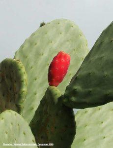 Cacti in Pupnatska - detail