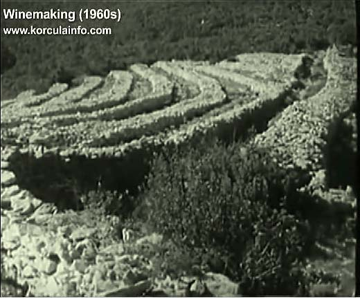 winemaking-korcula1960o