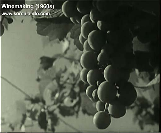 winemaking-korcula1960r