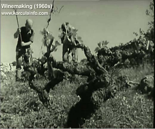 winemaking-korcula1960z