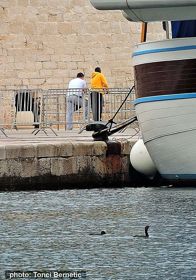 european-shag-korcula-port201510a