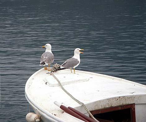 seagulls-korcula-town1