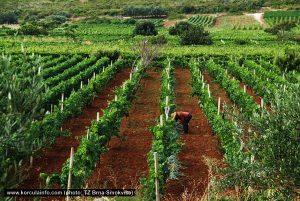 Vineyard in Smokvica
