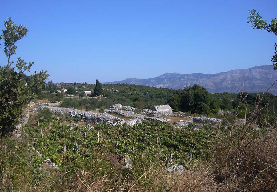 Vineyard nr Zrnovo