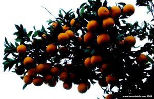 Bitter Orange Tree in Lumbarda's garden