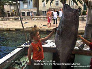 Kerna Kirnja 81 kilogram Epinephelus marginatus Dusky grouper