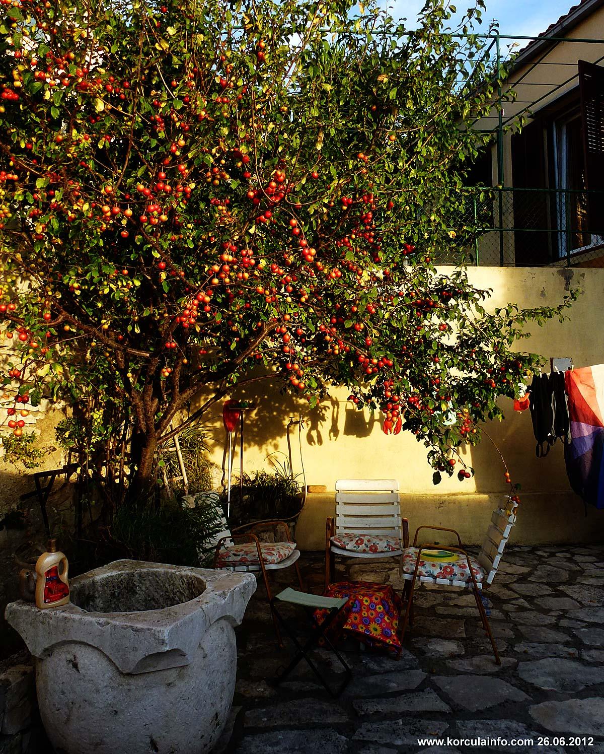 Amula Tree in Korcula
