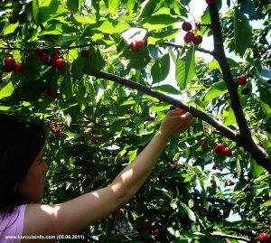 Cherry Picking in Zrnovo, Korcula