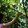 Cherry Picking in Zrnovo, Korcula