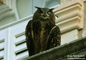 Owl at the balcony of Bishop's Palace, Korcula