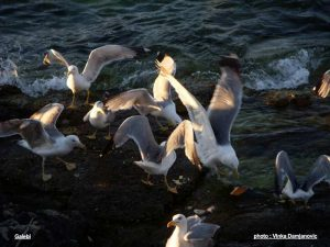 Seagulls in Korcula