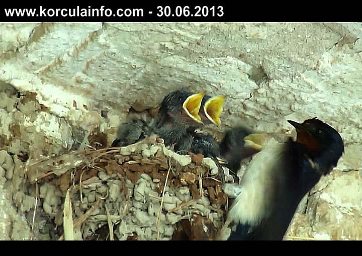 Male lastavice u gnjezdu