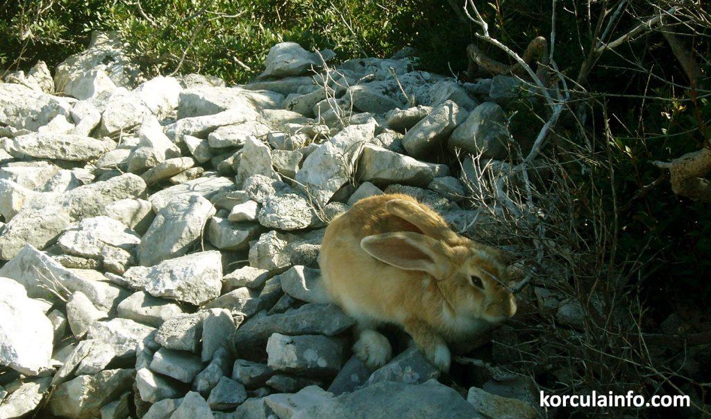Ginger rabbit - hare
