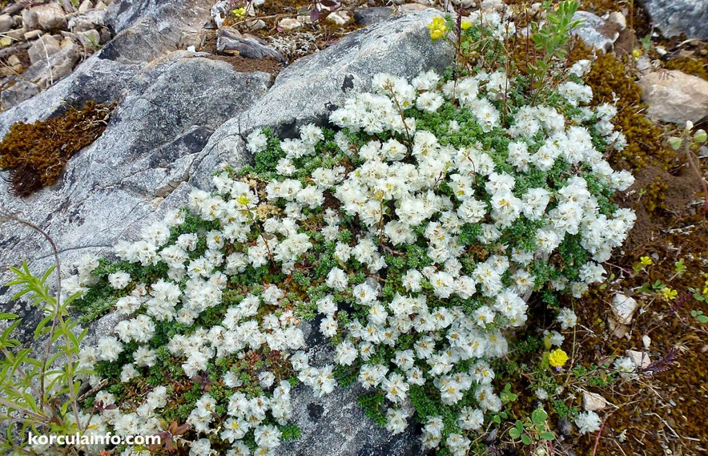 Along the walk, there are numerous large rocks on which you can see this sort of flowers.