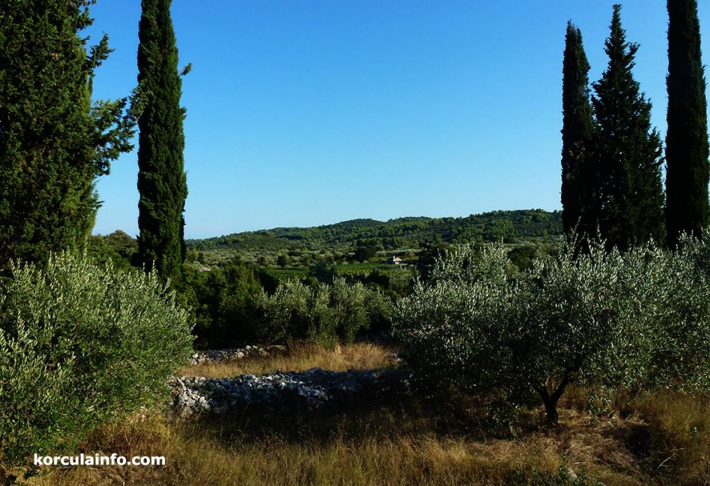 olive groves, vineyards, hills and cypress trees